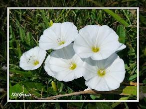 Photo: Liseron des champs, Convolvulus arvensis