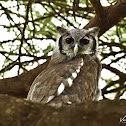 Eagle Owls  -  Verreaux's Eagle-owl