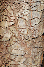 "Photo: ...whose larvae eat the inner bark of pine trees, leaving a ""map"" of where they've dined."