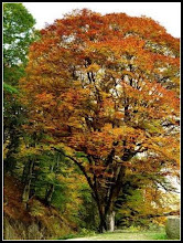 """Photo: Muncelu, Baia de Aries - Fagul Imparatului  Pe malul stâng al Arieşului, în amonte de Baia de Arieş, lângă satul Muncelupe drumul spre Cîmpeni, se află un stejar falnic denumit şi """"copacul fermecat"""". Frunzele acestuia nu cad decât primăvara, lucru care a determinat apariţia a multe poveşti şi legende. Una dintre acestea susţine că sub stejar s-ar fi întâlnit Avram Iancu cu împăratul austriac Franz Josef.  Citeste mai mult: /adevarul.ro/locale/alba-iulia/cazul-fagului-ciudat-apuseni-frunze-cad-doar-primavara-pomul-legendar-traieste-500-ani-1_5672cbf87d919ed50e531d1e/index.html  Info de pe net: https://adevarul.ro/locale/alba-iulia/cazul-fagului-ciudat-apuseni-frunze-cad-doar-primavara-pomul-legendar-traieste-500-ani-1_5672cbf87d919ed50e531d1e/index.html"""