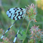 Larger Balkan Spoon-winged Lacewing