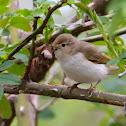 Western Bonelli's warbler; Mosquitero papialbo