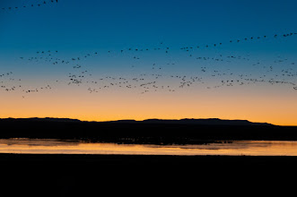 Photo: Snow geese coming to the pond before sunrise; Bosque del Apache