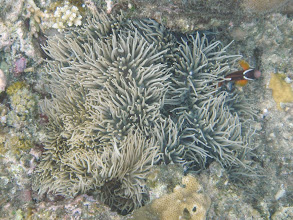 Photo: Amphiprion barberi (Fiji Tomato Clownfish) with Heteractis crispa (Sebae Anemone) , Naigani Island, Fiji