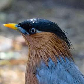 Sterling myna or common myna by Vijay Singh Chandel - Animals Birds ( animals, wildlife, india, birds, bird photography )