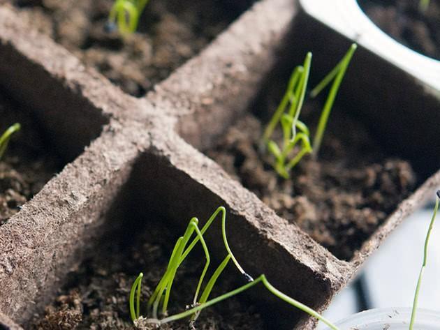 Посадка луковых семян