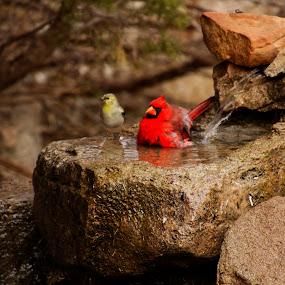Cardinal taking a bath by Scott Thomas - Animals Birds ( nature, bird, cardinal, bath, water )