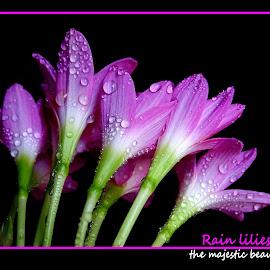 Rain lilies...  by Asif Bora - Typography Quotes & Sentences