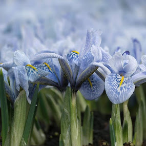 @nikon_photography_ @nikoneurope @nikon_macro @nikontop @nikontop_ @nikonphotography_ by Sue Tydd - Flowers Flower Gardens ( dunhammassey, dunhampark, naturalhistory, flowers, springbulbs,  )