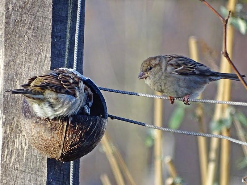 2019-01-19 LüchowSss Vögel im Garten Sperlinge (3) Haussperlings-Männchen + -weibchen (Passer domesticus)