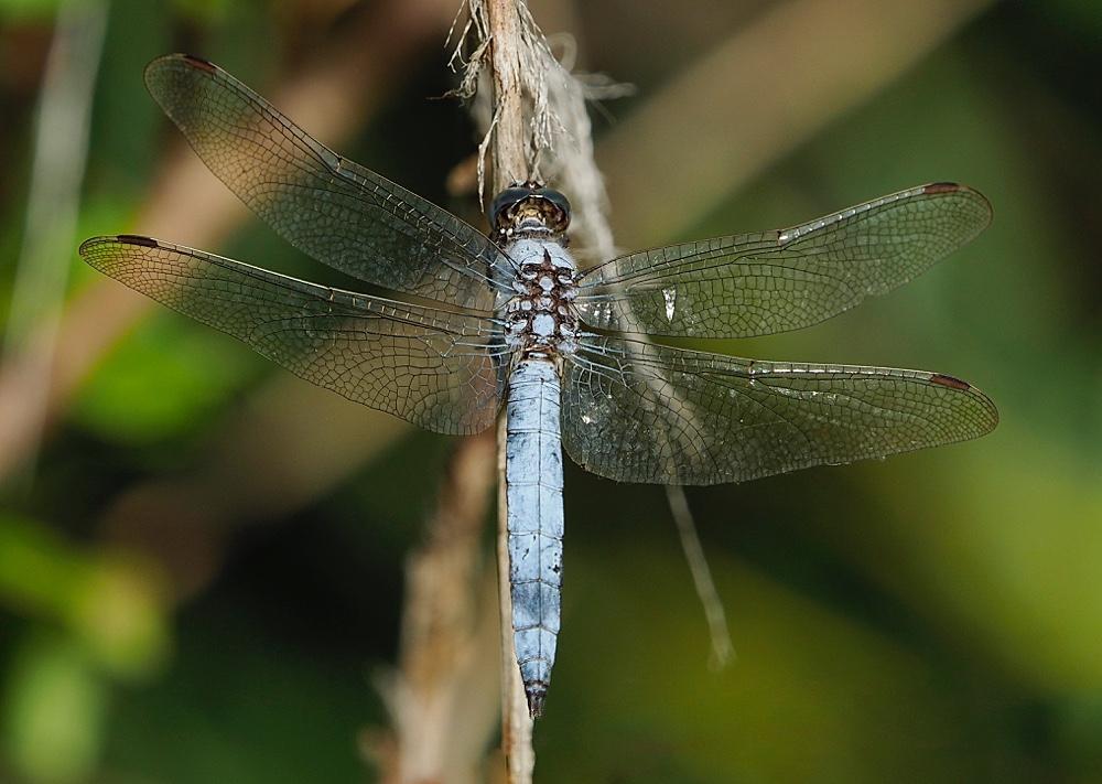 Libélula (Southern skimmer)