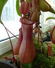 Photo: Nepenthes ventricosa x alata (N. x ventrata)