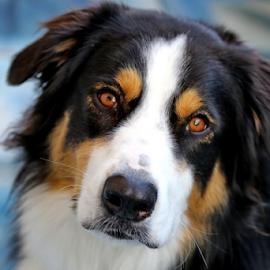 Good Dog by Michael Schwartz - Animals - Dogs Portraits ( dor, friend, portrait, pet,  )