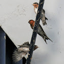 Welcome Swallow (chicks with adult)