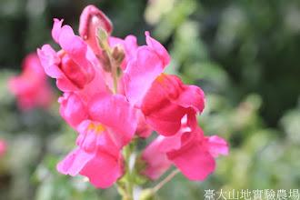 Photo: 拍攝地點: 梅峰-溫帶花卉區 拍攝植物: 金魚草 拍攝日期: 2015_10_27_FY