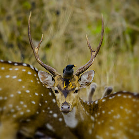 The Pose by Vijayanand Kandasamy - Animals Other Mammals ( wild animal, spotted deer, deer horn, animal, deer,  )