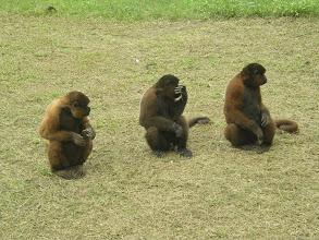 Photo: Woolly monkeys