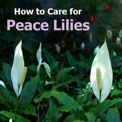 How To Care For Peace Lilies