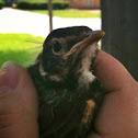 American Robin, fledgeling