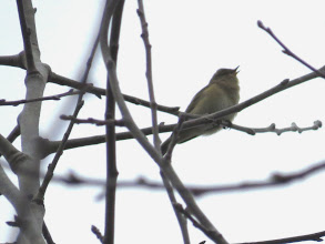 Photo: Priorslee Lake Another in the continuing series of poor photos of warblers: here a Chiffchaff atop of a 50' tree in poor light sings its heart out. (Ed Wilson)