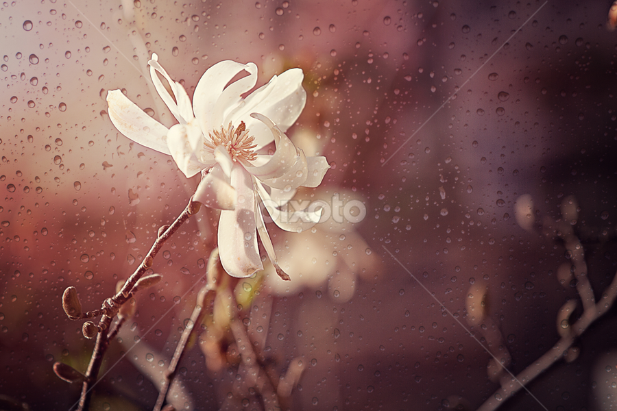 Spring Rain by Ken Gehring - Nature Up Close Flowers - 2011-2013 ( water, white, bloom, garden, floral, rain, flower )