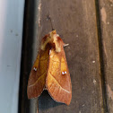 Rough prominent moth