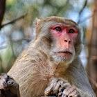 Rhesus Macaque / रातो बाँदरको प्रजाती