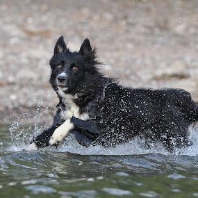 Blaez by Mathias Ahrens - Animals - Dogs Running ( pwcmovinganimals-dq )