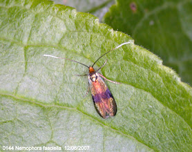Photo: 0144 Nemophora fasciella