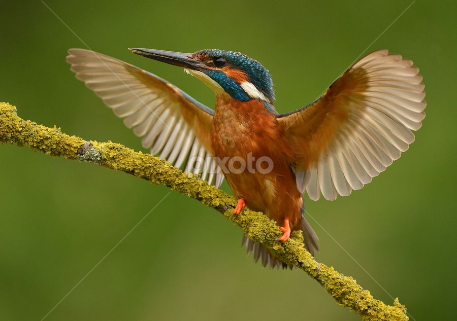 Male Kingfisher  by Keith Bannister - Animals Birds