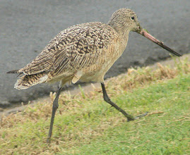 Photo: Marbled godwit - between Quivera Basin and the San Diego River