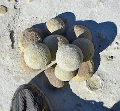 Photo: Concretions - weird sandstone spheres that are embedded in the White Cliffs. They fall out as the surrounding sandstone erodes away.