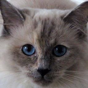 Lily by Welsh Hawk - Animals - Cats Portraits