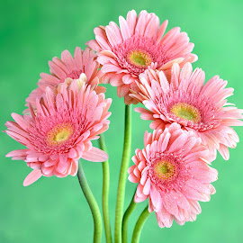 Gerbera #2 by Jim Downey - Flowers Flower Arangements ( pink, green, gerbera daisy, yellow, daisy )