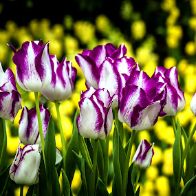 Tulip Garden by Jijo George - Flowers Flower Gardens ( tranquil scene, daisy, yellow, leaf, blossoming, nature, single flower, flower, saturated color, warm colors, grass, agriculture, beauty in nature, sunlight, cross-procesed, brightly lit, outdoors, new life, sunrise - dawn, day, blade of grass, green color, copy space, ornate, botany, dew, beauty, romance, spring, photography, isolated objects, vibrant color, no people, sub-tropical climate, sunbeam, elegance, backgrounds, morning, field, light - natural phenomenon, easter, defocused, clipping patch, wildflower, sunset, selective focus, meadow, summer, south, pastel colored, freshness, square, garden, springtime )