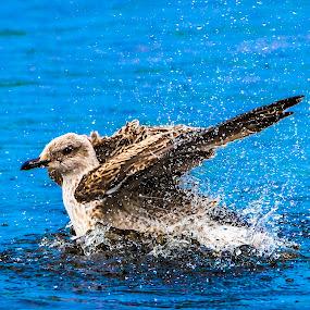 Big Splash by Tom Mehlum - Animals Birds ( water, animals, seagull, sea, birds )