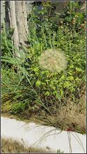Photo: Barba caprei (Tragopogon dubius....) - din Turda, Str. Constructorilor, Nr. 2, spatiu verde - 2019.06.16
