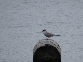 Photo: 13 Aug 13 Trench Lock Pool: Common Tern at Trench Lock Pool. (Ed Wilson)