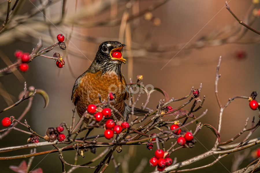 Careful Don't Swallow by Roy Walter - Animals Birds ( bird, robin, dogwood tree, wildlife, animal )
