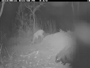 Photo: Porcupine approaching a duiker Um porco-espinho aproximando-se de um bambi