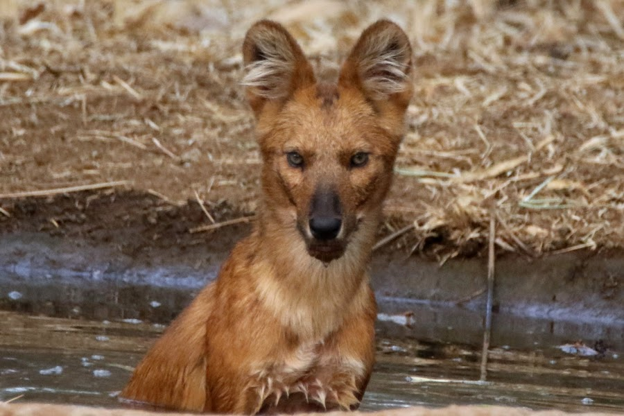 Dhole by Vivek Naik - Animals Other ( red wolf, whistling dog, asiatic wild dog, indian wild dog, red dog )