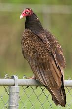 Photo: Turkey Vulture