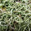Wavy-leaved cotton moss