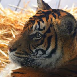 Stripes by Amanda Daly - Novices Only Wildlife (  )