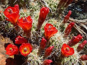 Photo: Claret cup cactus