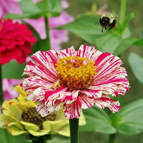 Bee Above Red and White Zinnia by Lynne Miller - Nature Up Close Gardens & Produce ( lynne miller, maine, bee, red and white zinnia, flower )