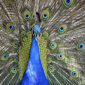 Peacock by Anna Cole - Animals Birds ( bird, open, gorgeous, blue, tale, beautifull, green, feathers, fan, feather, peacock, animal,  )