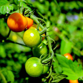 Tiny Tomatoes by Don Cailler - Nature Up Close Gardens & Produce (  )