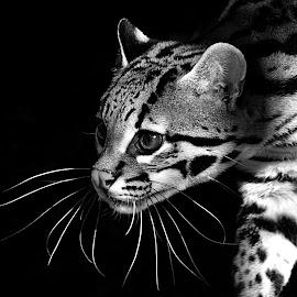Ocelot B&W by Shawn Thomas - Black & White Animals