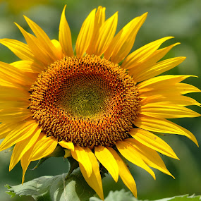 Tournesol en Camargue. by Lorraine Bettex - Flowers Single Flower (  )